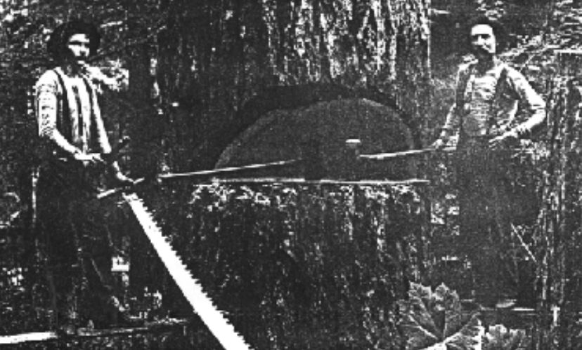 Early loggers next to cut redwood trunk